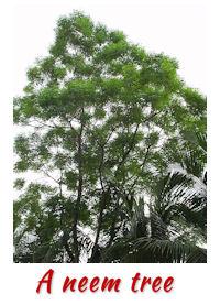 neem-tree2