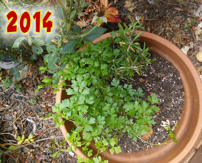 parsley5