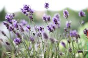 -absolutely_free_photos-original_photos-lavender-flowers-5184x3456_40787