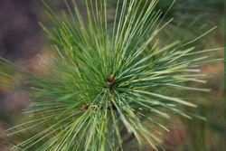 pine tree-250