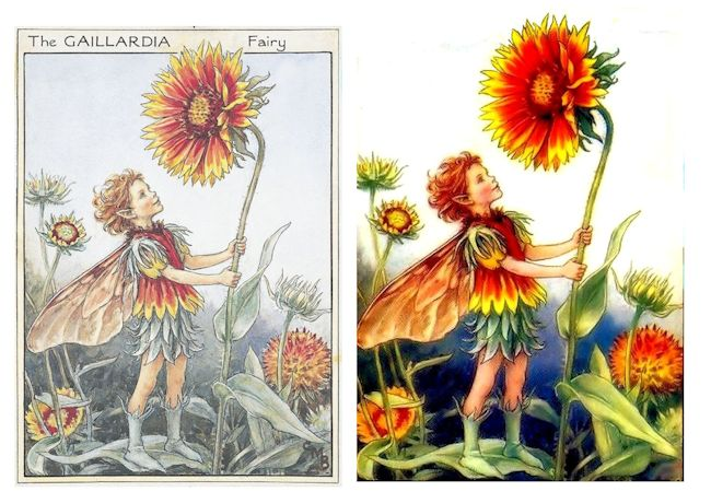 Gaillardia Before-After 650