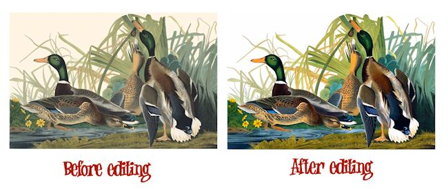 Mallard Ducks B-A 650
