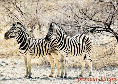 Zebra 24667 500
