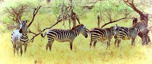 Zebra 24671 bsim split 500