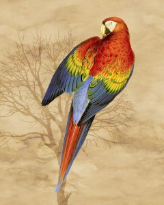 Red & Yellow Macaw Vintage Print